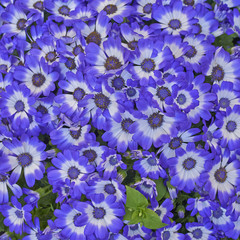 cineraria flowers bouquet closeup, natural background