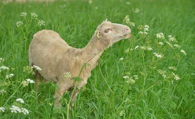 goat in a meadow