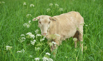 goat in a meadow