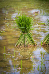 Close up sprout rice  (Oryza sativa)