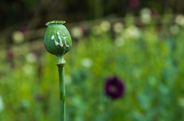 Crying poppy head, opium plant