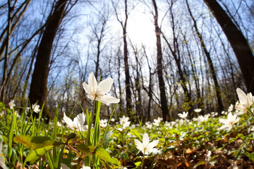 snowdrop anemone flowers in sunny forest