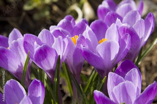 Fotobehang Krokus Purple crocuses