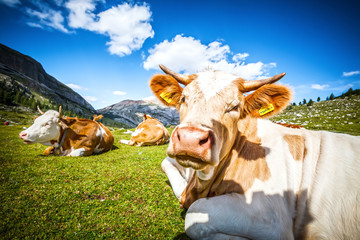 "Mountain Cow called ""Marina"""