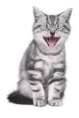 Britisch Kurzhaar Kätzchen gähnt