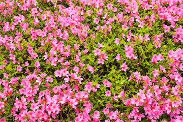 Rosa Blumen als Hintergrund