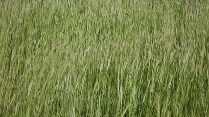 Wild Green Grass Closeup on a Windy Day 1920x1080