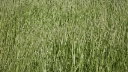 Wild Green Grass Closeup on a Windy Day 1920x1080