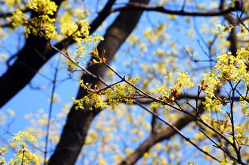 Maple (acer) springtime revival 6.