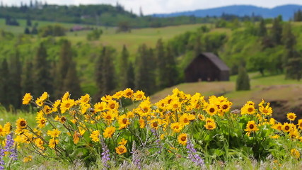 Balsamroot and Lupine Wildflowers Springtime in Maryhill WA