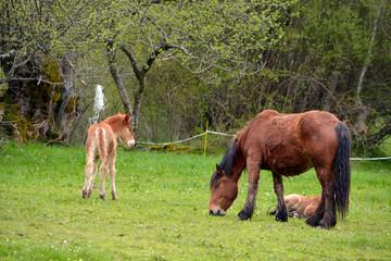 caballo y crias en un prado de hierba verde en primavera