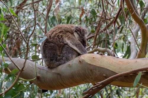 In de dag Koala Sleeping Koala