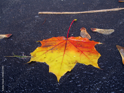Wet maple leafe on ground