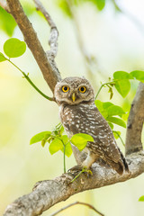 Portrait of  Spotted owlet stair at us in nature
