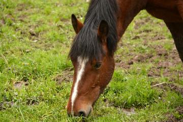 caballo de pelo marron comiendo hierba en el campo