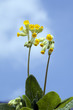 canvas print picture - Schluesselblume; Primula veris;