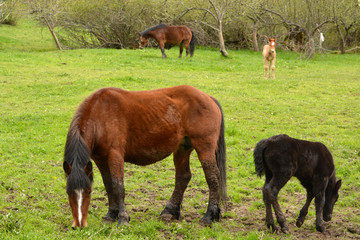 caballo maron y potro negro pastando en un prado en primavera