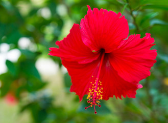 Red flower Hibiscus