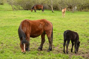 caballos y crias en un prado de hierba verde en verano, asturias