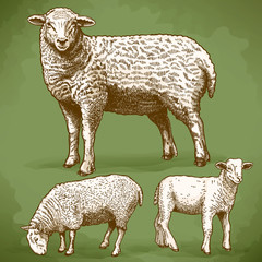 vector illustration of engraving three sheeps