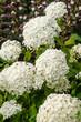 Постер, плакат: Witte hortensia