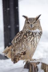 Eurasian Eagle Owl winking an eyes