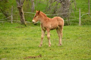joven potro con pelo de color marron en un campo de hierba verde