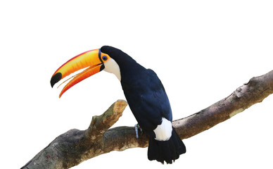 Tucan bird on branch, isolated as element