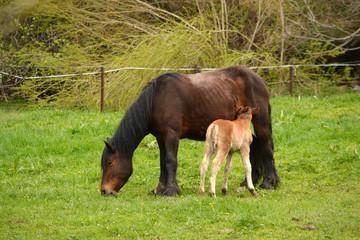 yegua alimentando a su cria en un prado en primavera