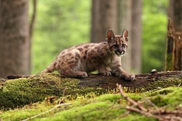 Puma concolor, cub, mountain lion