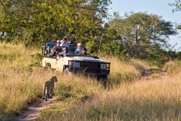 Tourists observing a female leopard, South Africa
