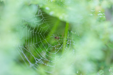 Spider on a spider web with water drop