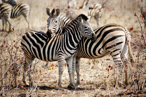 Two Zebras standing side by side