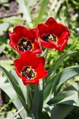 Тюльпаны в естественной среде