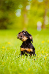 Black Brussels Griffon puppy