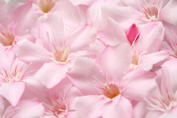 close up of pink oleader flower as background