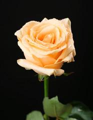 Beautiful rose on black background