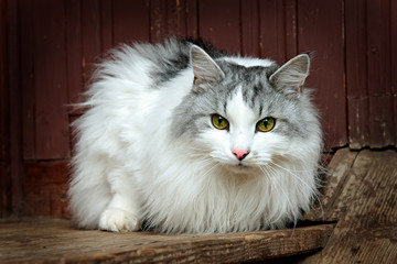 cat Siberian breed, grey and white colors of wool.