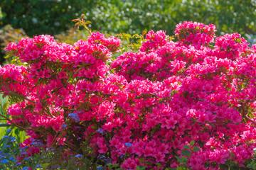 Azaleen in pink