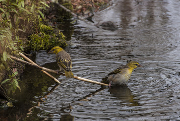 Finches at waterside