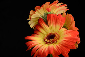 Bouquet of two colored gerberas
