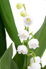 lily of the valley macro