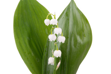 isolated lily of the valley