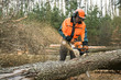 Forestry worker with chainsaw is sawing a log. Process of loggin - 64644423