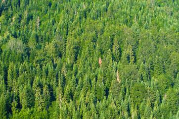 Fir Wood, Serbia