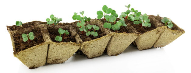 Young seedlings of radish in tray isolated on white