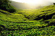 Tea Plantation on Mountain