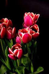 Crimson and White Tulips