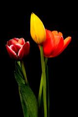Yellow, Orange, and Crimson Tulips