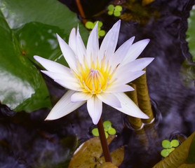 white lotus flower in the lake
